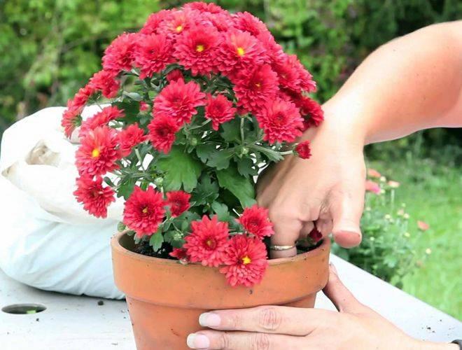 Уход за комнатной хризантемой в домашних условиях