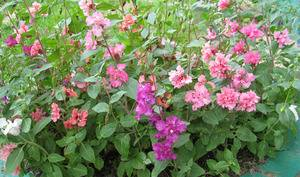 Цветок кларкия