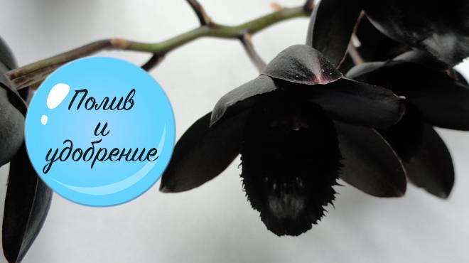 Орхидея черная жемчужина