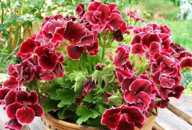 Чем подкормить герань во время цветения