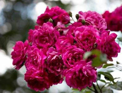 Розы цветущие все лето сорта зимостойкие