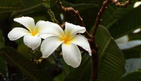 Цветет ли фикус в домашних условиях