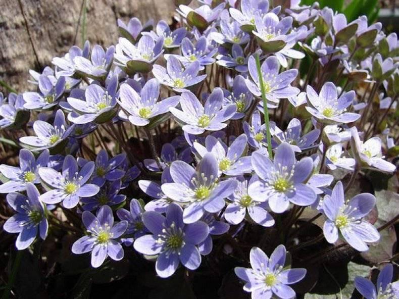 Цветок печеночница