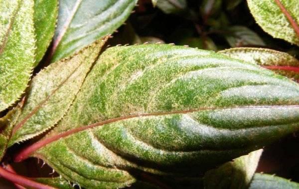 Скручиваются листья у бальзамина