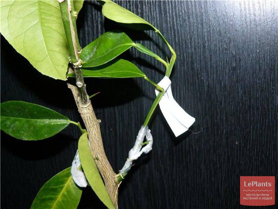Уход за цитрусовыми в домашних условиях