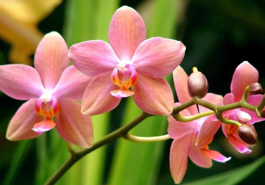 Орхидея цветение
