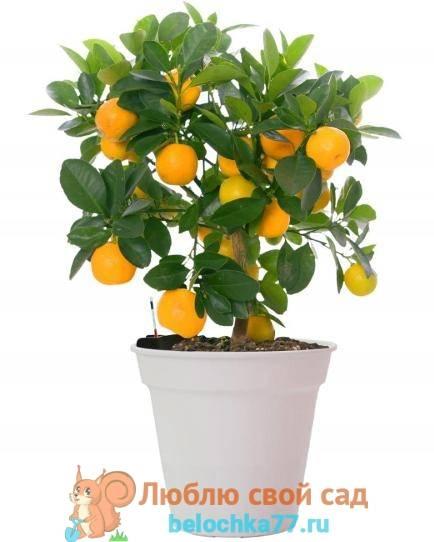 Апельсин из косточки
