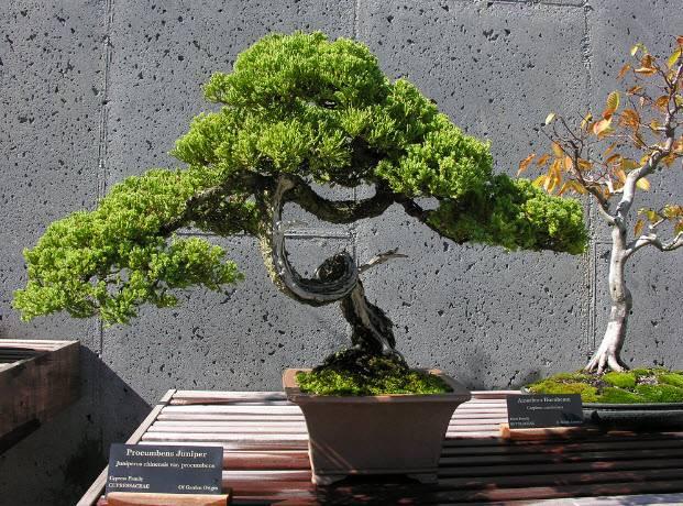 Как ухаживать за бонсай деревом