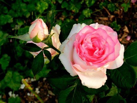 Дольче роза