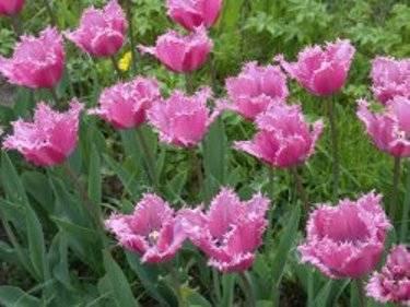 Когда садить тюльпаны в сибири осенью