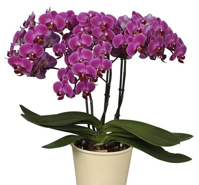 Орхидеи дома уход