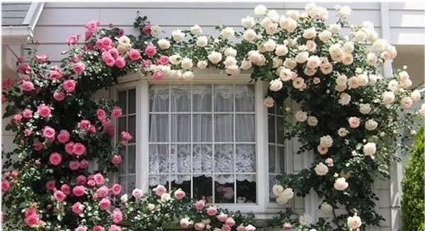 Роза плетистая желтая