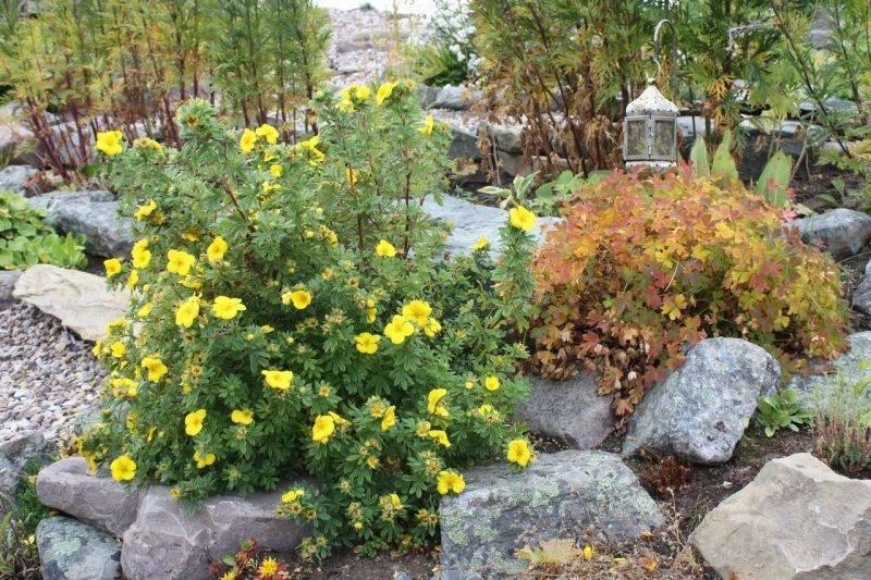 уход за лапчаткой кустарниковой осенью