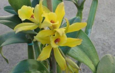Ванильная орхидея