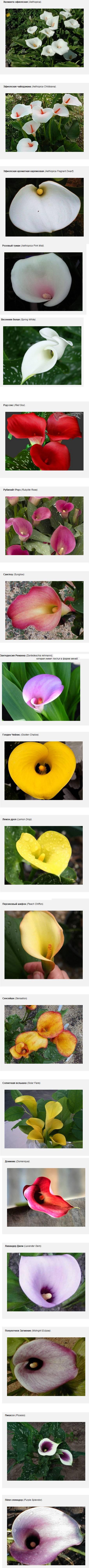 Как выглядит цветок калла