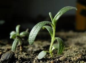 Как вырастить лаванду дома