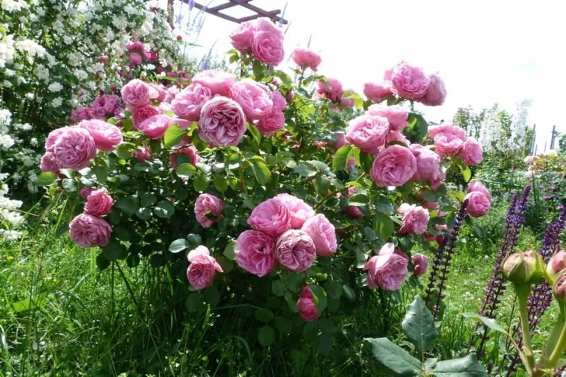 Черная пятнистость роз лечение