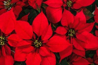 Красные комнатные цветы