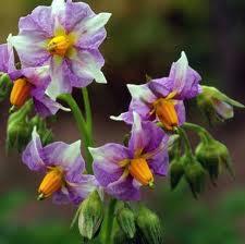 Лечение цветками и ростками картофеля