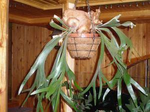 Оленьи рога растение