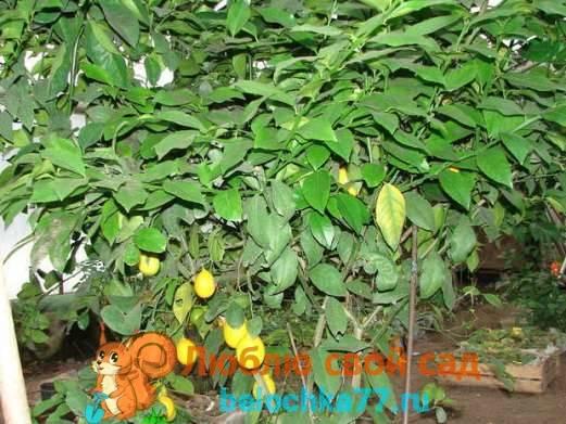 Как посадить лимонное дерево