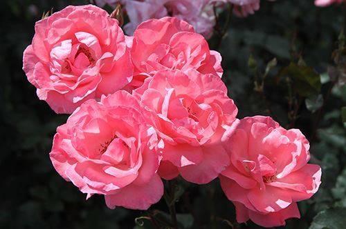 Почему не цветет роза в саду