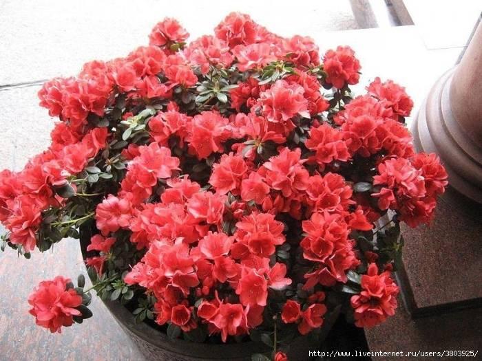 Полив цветов дрожжами