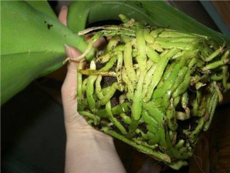 Сохнут корни у орхидеи что делать