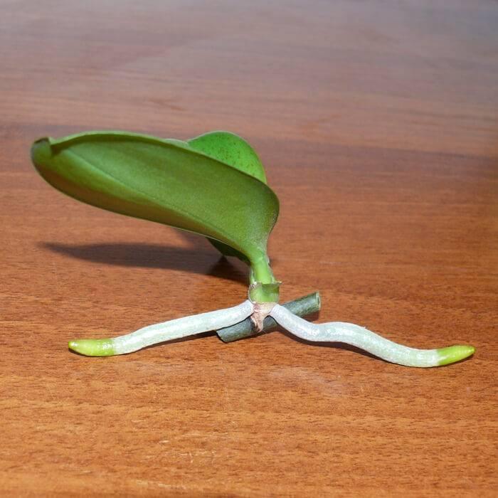 Как размножаются орхидеи фаленопсис в домашних условиях