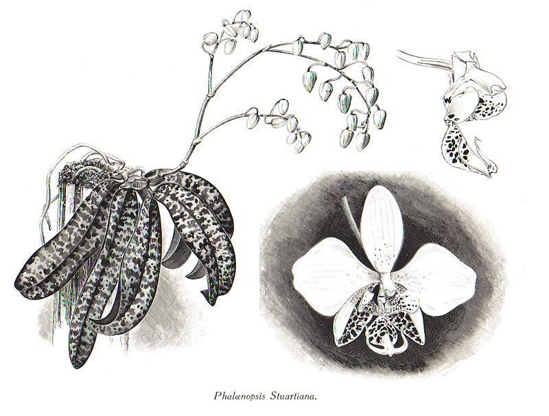 Фаленопсис стюарта