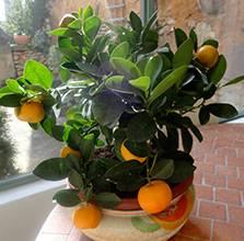 Как привить апельсин