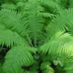 Папоротник лесной лечебные свойства