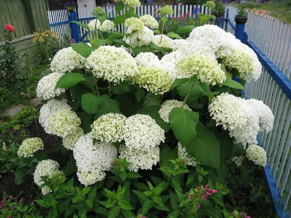 Гортензия садовая размножение