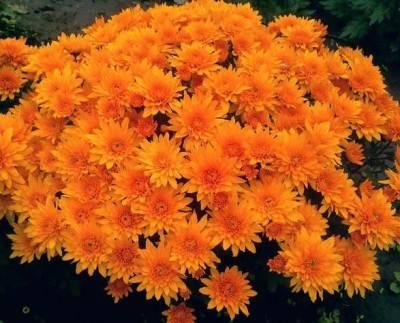 Мелкие хризантемы