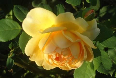 Сульфат магния для роз