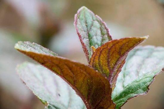 Шоколадная мята растение