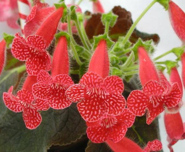 Цветок с красной стрелой в середине