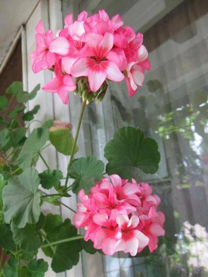 Эппл блоссом розебуд