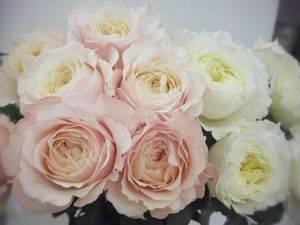 Пионная роза