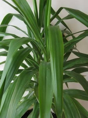 Комнатный цветок с длинными узкими листьями