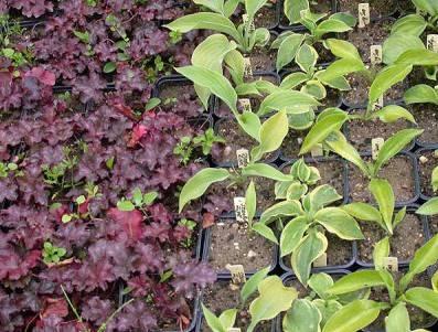 Выращивание из семян хосты