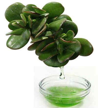 Денежное дерево польза для здоровья