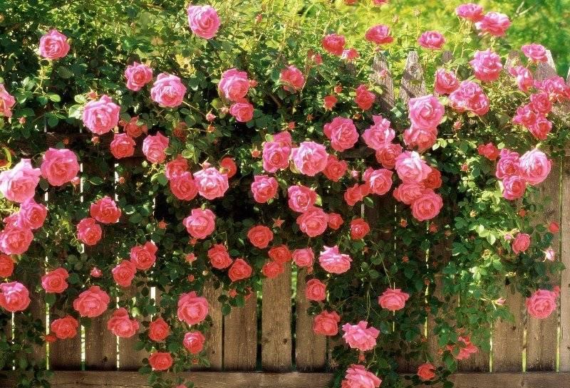 Вьюшка роза