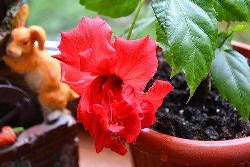 Как вырастить гибискус из черенка