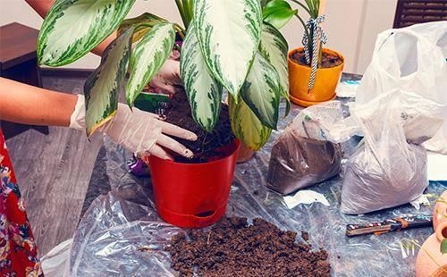 Цветет ли диффенбахия в домашних условиях