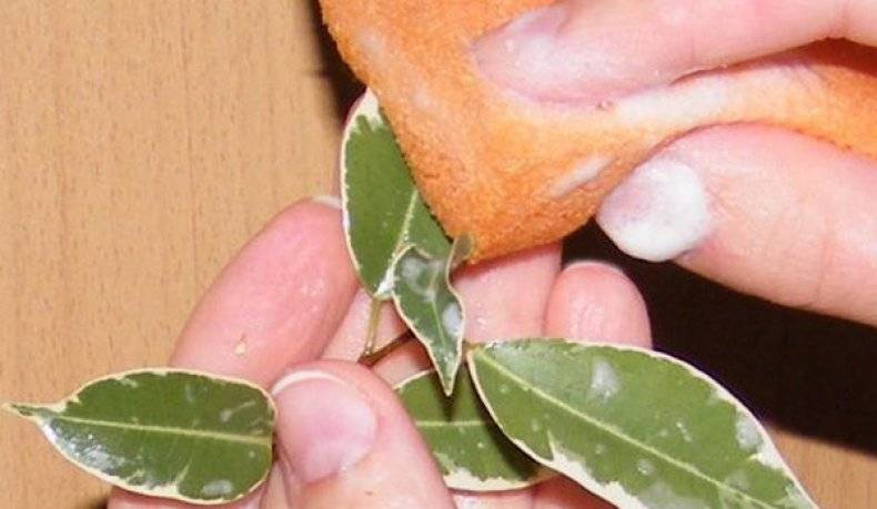 Борьба с щитовкой на комнатных растениях