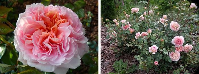 Розы уход и выращивание в саду