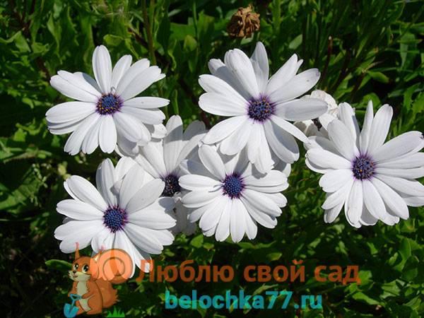 Остеоспермум уход и выращивание