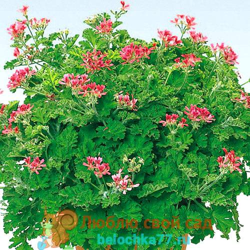 Герань душистаяДушистые пеларгонии (Scented Leaf Pelargoniums)
