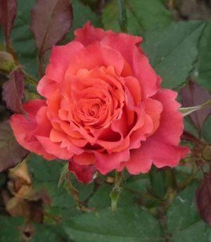 Лучшие сорта чайно гибридных роз